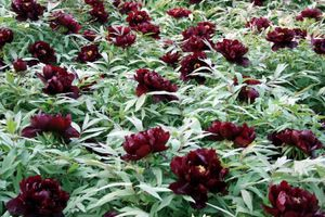 "Black variety of peonies: planting ""black"" peonies in your garden"