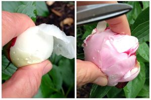 How to cut peonies in a bouquet