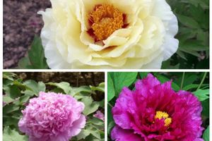 New varieties of tree peonies!
