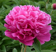 Herbaceous peony Riches and Honour Red - Fu Gui Hong