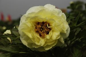 Tree peony High Noon - Hai Huang