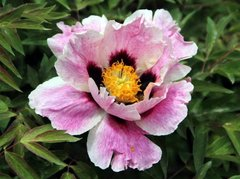 Paeonia rockii Colorful Face - Yan Mian (open root)