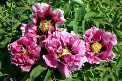 Paeonia rockii Full of pink flowers - Sheng Hua Fen (open root)