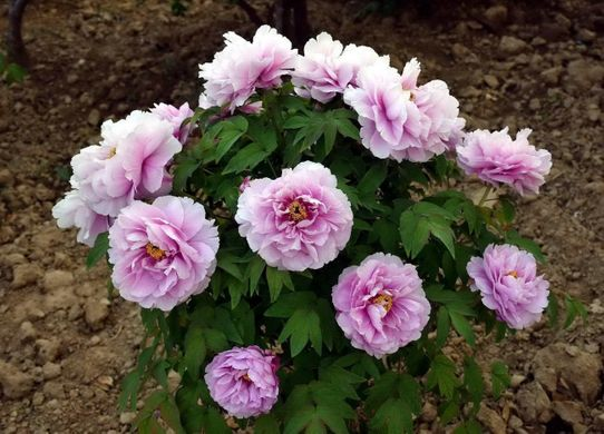 Tree peony Like a Girl - Ru Hua Shin Yu (open root)