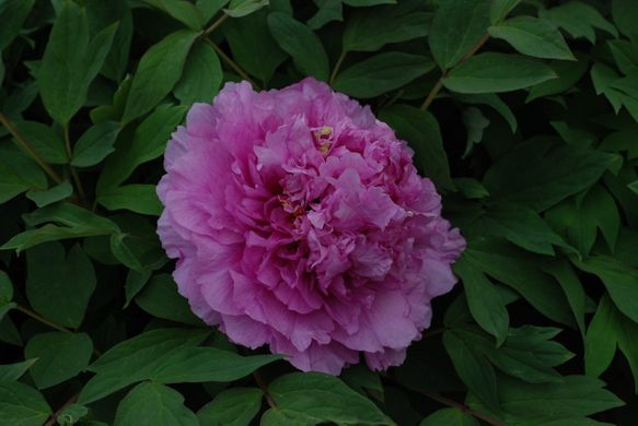 Tree peony Limpid Dews on Two-horned Flower - Ling Hua Zhan Lu (open root)