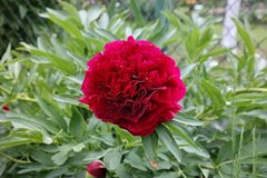 Пион лекарственный Rubra Plena - Paeonia officinalis Rubra Plena