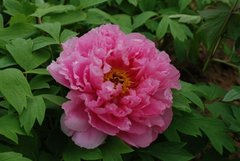 Tree peony Pink Water-lily - Rou Fu Rong