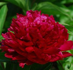 Herbaceous peony Red Warrior - Hong Jin Gang