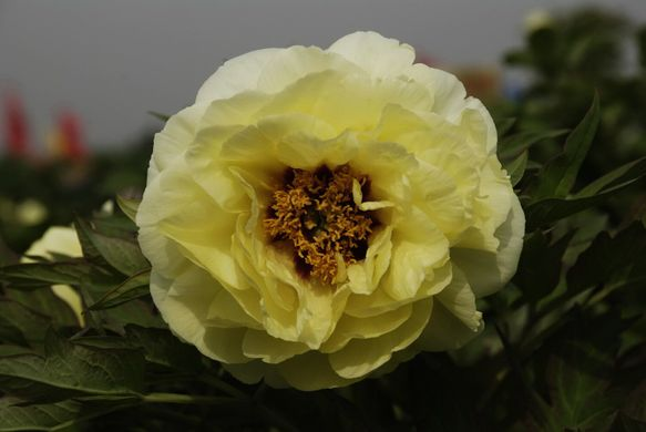 Tree peony High Noon - Hai Huang (open root)